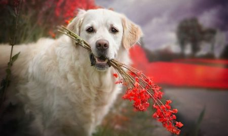 Tùng Lộc Pet – Có rất nhiều lý do tại sao tôi yêu Golden Retriever!
