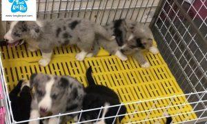 Tùng Lộc Pet – Chào bán đàn chó Corgi Cardigan tháng 6/2018