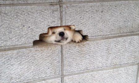 Tùng Lộc Pet – Chú chó Akita cố chui đầu vào lỗ hổng tường để chào người qua lại
