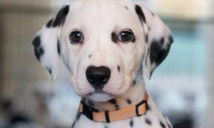 Tùng Lộc Pet – Chào bán chó đốm (dalmatian) xuất chuồng tháng 10/2016