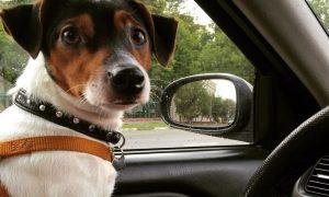 """Tùng Lộc Pet – 5 Bang ở Hoa Kỳ đã hợp pháp hóa việc """"đập xe cứu chó"""""""