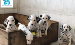 Tùng Lộc Pet – Chào bán đàn chó đốm (Dalmatian) xuất chuồng cuối tháng 5/2018