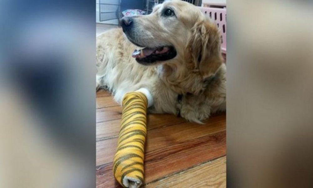 Tùng Lộc Pet- Chú chó Golden Retriever lao đầu vào chặn xe cứu chủ.