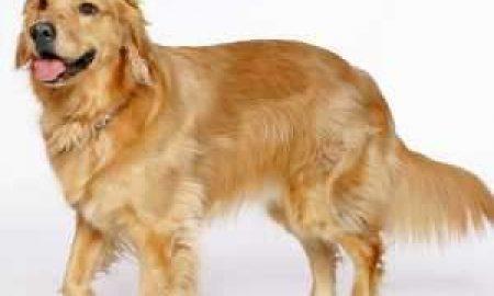 Tùng Lộc Pet – Golden Retriever –  giống chó được yêu thích và phổ biến nhất thế giới
