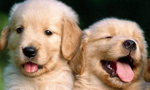 Tiếp tục chào bán đàn chó Golden Retriever 8 bé cuối tháng 3/2018