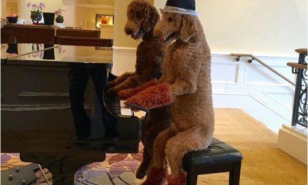 Tùng Lộc Pet – Hai chú chó biết lau nhà, chơi nhạc, nấu ăn, nhảy múa