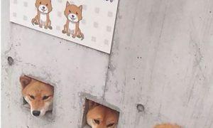 Tùng Lộc Pet – Chủ nhà khoét tường để chó ngắm cảnh đường phố