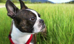 Tùng Lộc pet – 6 giống chó nhỏ dành cho những người thích chó lớn