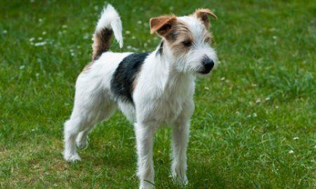 Tùng Lộc Pet – Chó sục Jack Russell