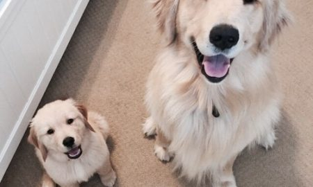 Tùng Lộc Pet – Cách chăm sóc sức khỏe cho mộ bé Golden Retiever