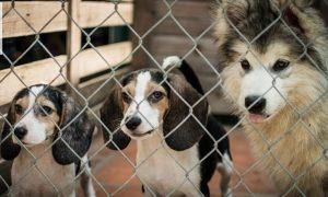 Tùng Lộc Pet – Chào bán đàn chó Beagle tháng 10/2016