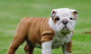 Chào bán đàn chó English Bulldog siêu khủng đầy đủ giấy tờ VKA