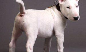 Tùng Lộc Pet – Tìm hiểu về giống chó Bull terrier