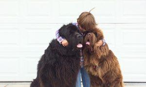 Tùng Lộc Pet – Những bức ảnh tuyệt đẹp của 2 chú chó Newfoundland bên những người bạn
