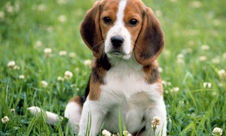 Tùng Lộc Pet – Tìm hiểu về giống chó săn thỏ Beagle