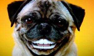 """Tùng Lộc Pet – Những pha """"hành động"""" ngộ nghĩnh của những có cún Pug"""