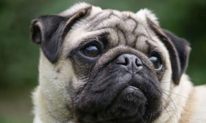 Tùng Lộc Pet – Chăm sóc mắt cho Pug