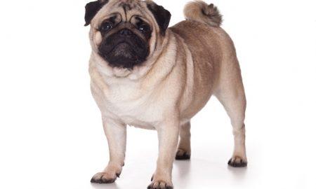 Tùng Lộc Pet – Cách chọn giống chó Pug