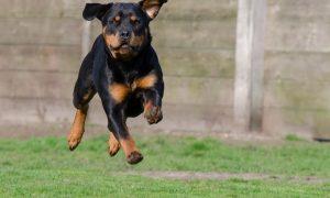 Tùng Lộc Pet – Cách huấn luyện Rottweiler 2 – 6 tháng tuổi