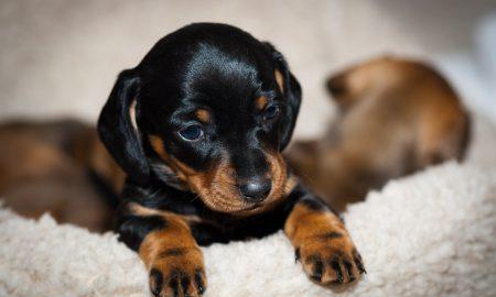 Tùng Lộc Pet – Chào bán đàn Lạp sườn (Dachshund) tháng 09/2016