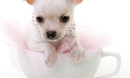 Tùng Lộc Pet – Giống chó Chihuahua bé mà dũng cảm