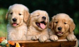 Tùng Lộc Pet – Chó golden retriever giá bao nhiêu?