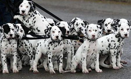 6 điều thú vị về chó đốm – Dalmatian