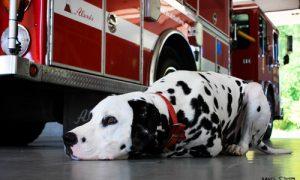 Một số thắc mắc thường gặp về chó Đốm – Dalmatian (Phần 1)