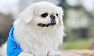 Tùng Lộc Pet – Dịch vụ phối giống chó Bắc Kinh