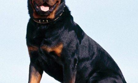 Rottweiler – Lịch sử hình thành và phát triển