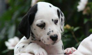 Tùng Lộc Pet – Nhận đặt đàn chó Đốm tháng 10/2016