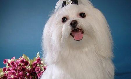 Tùng Lộc Pet – Tìm hiểu giống chó Maltese quý tộc