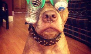 'Cười rách mép' với chú chó có thể đội mọi thứ lên đầu