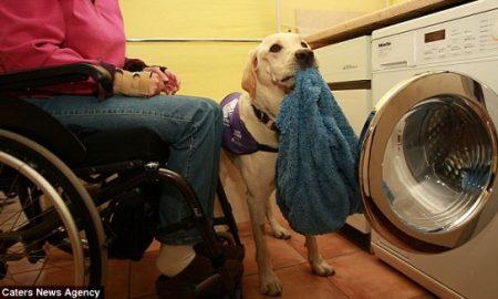 Chú chó Labrador thông minh biết chăm sóc cô chủ tật nguyền