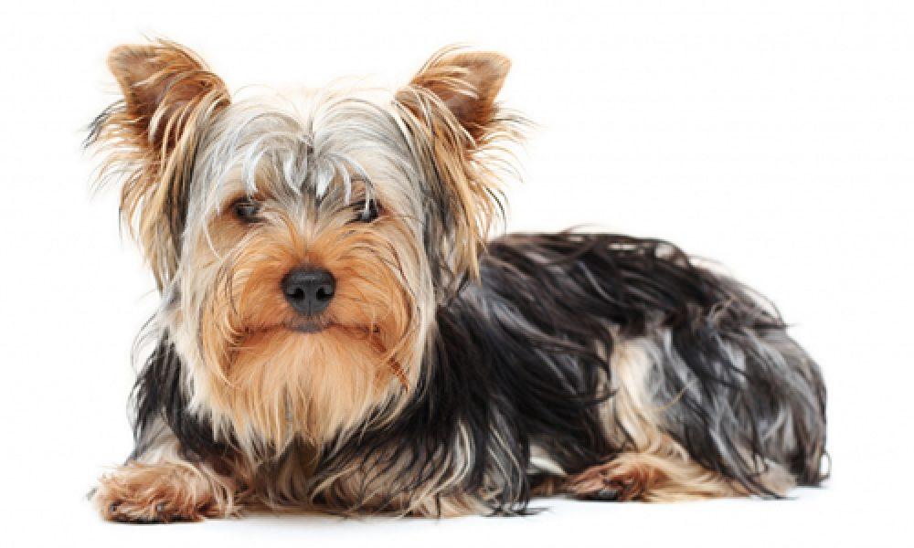 """Tùng Lộc Pet – Giống chó Yorkshire Terrier – """"mê mẩn"""" ngay từ cái nhìn đầu tiên"""