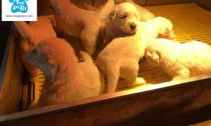 Tùng Lộc Pet – Nhận cọc đàn chó Golden Retriever tháng 5/2018