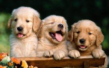 Chó golden retriever giá bao nhiêu?