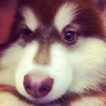 Alaskan nâu đỏ Tùng Lộc Pet