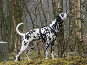 Chó Đốm dũng mãnh