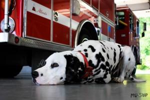 Dalmatian - chó cứu hỏa