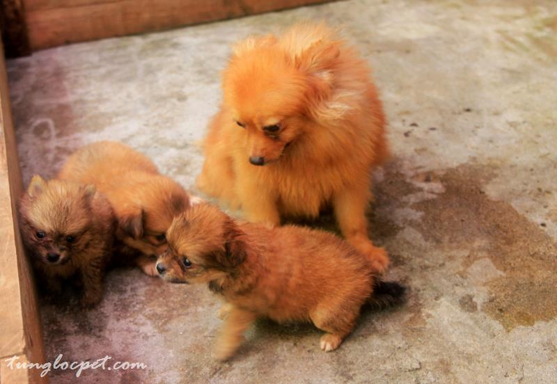 Pomeranian – Phốc sóc