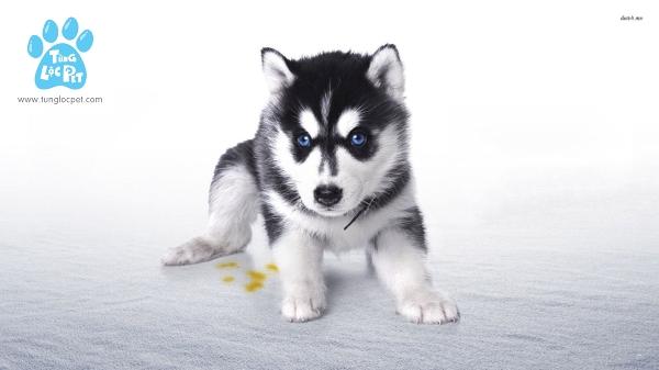 Chó Husky