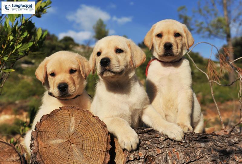 Thông minh, thân thiện, quấn chủ là những điều người ta thường nói về tính cách của giống chó Labrador