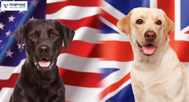 Giống chó Labrador được chia làm 2 loại là Labrador Mỹ (trái) và Labrador Anh (phải)