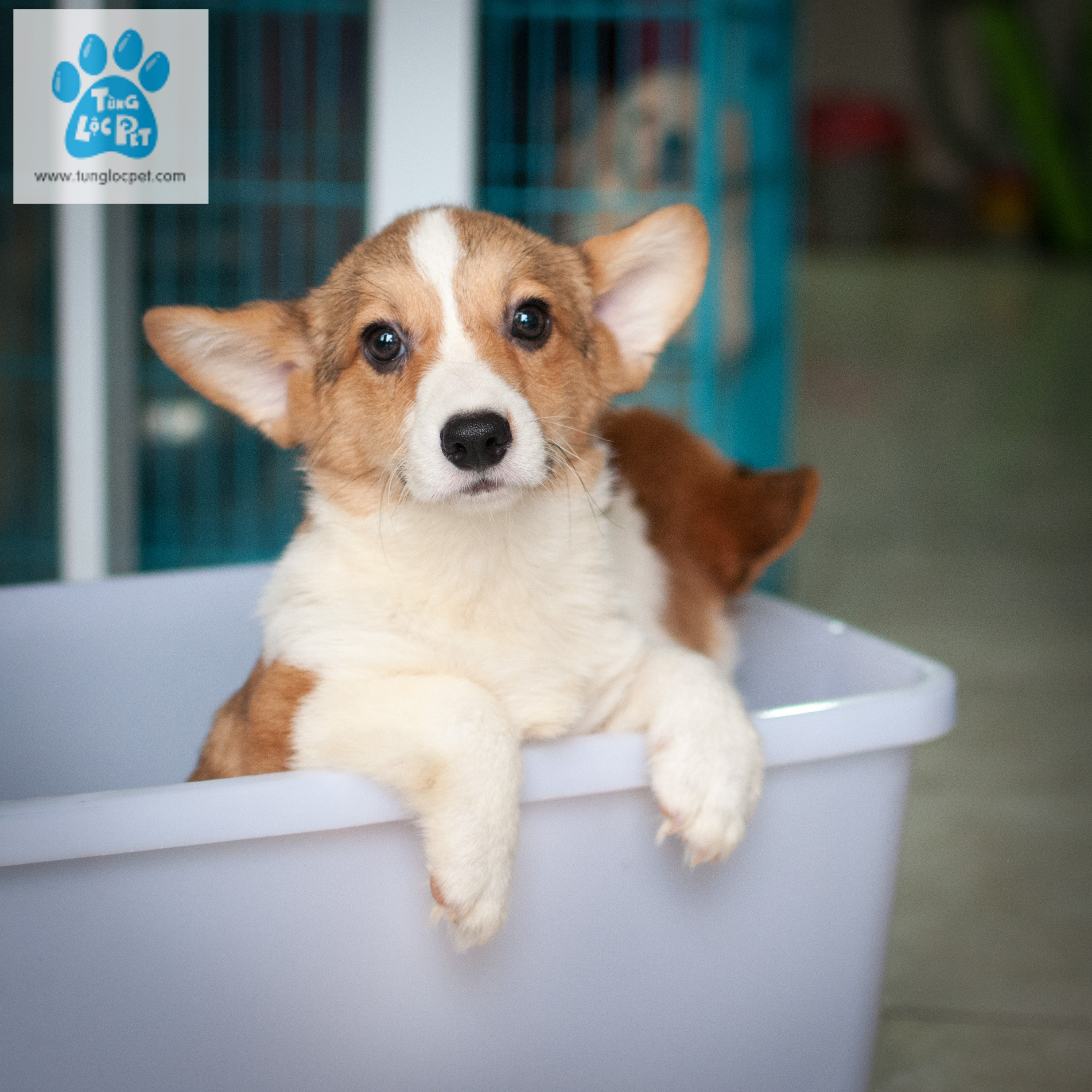Tùng Lộc Pet – Chào bán bé chó Pembroke Welsh Corgi cuối cùng trong đàn tháng 04/2017