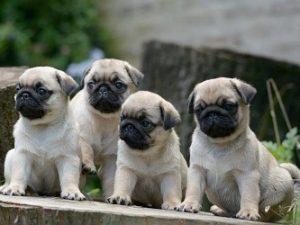 Bán chó Pug mặt xệ con thuần chủng