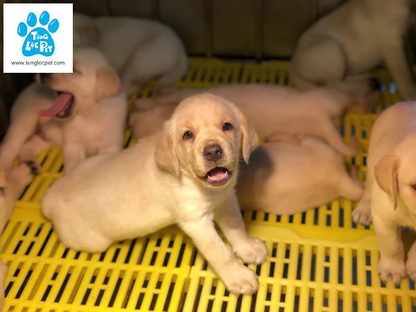 Tùng Lộc Pet – Nhận cọc đàn chó Labrador Retriever tháng 5/2018