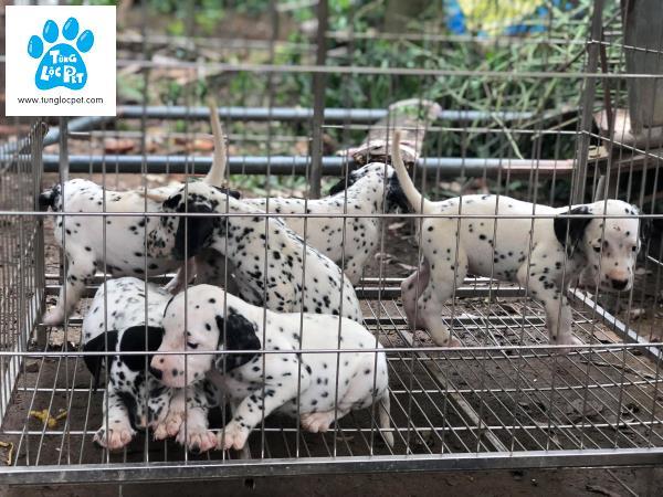 Tùng Lộc Pet – Chào bán chó đốm (Dalmatian) xuất chuồng tháng 5/2018