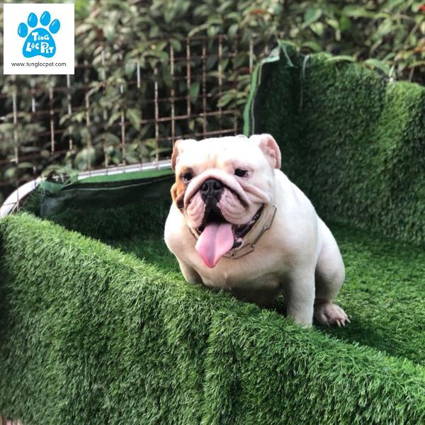 Tùng Lộc Pet – Bán bé Bulldog cái hơn 1 tuổi nhập Châu Âu