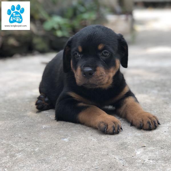 Tùng Lộc Pet – Chào bán đàn chó Rottweiler dòng đại tháng 06/2018